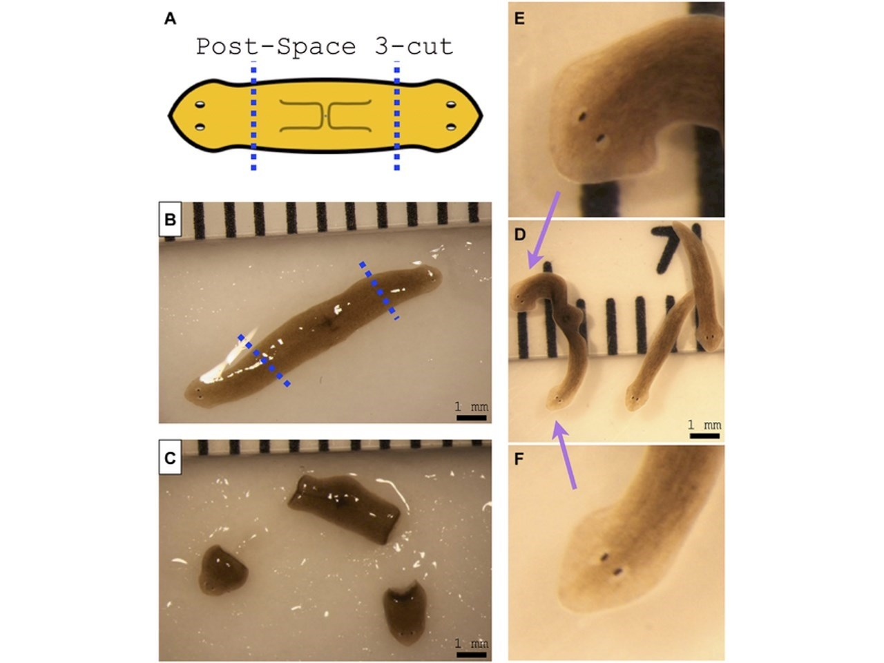 Amputation of double-headed worm from space results in double-headed morphology