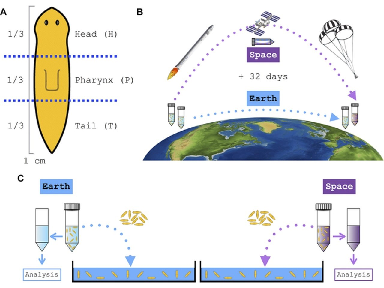 Flatworm amputation and space-exposed and Earth-bound worm sample schematics