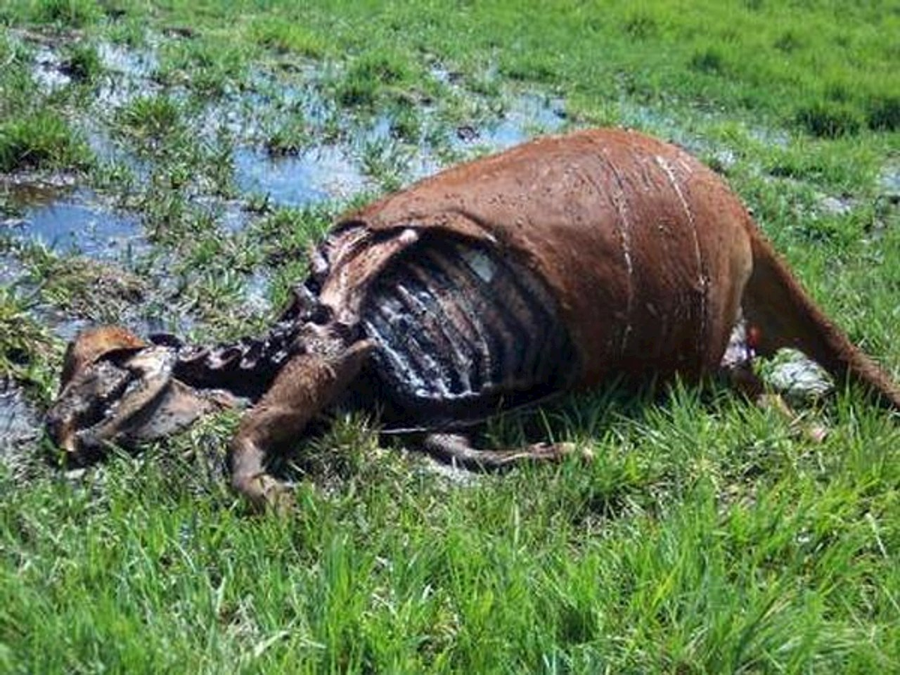 The remains of a calf killed on Manuel Sanchez's ranch