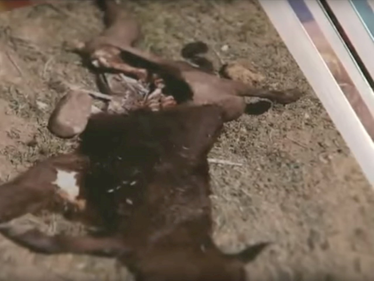 Photo of a mutilated cow
