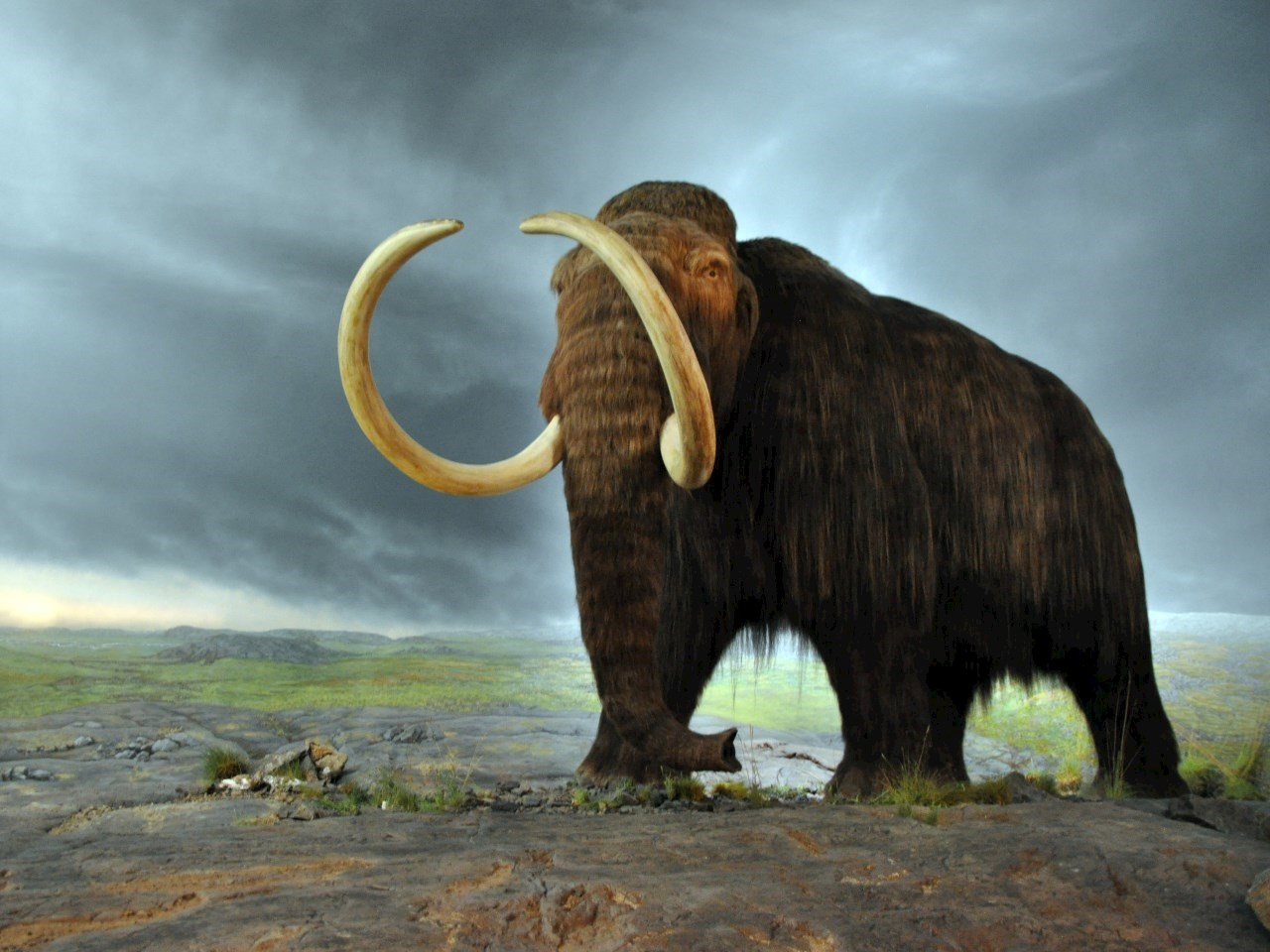 Woolly mammoth in the Museum