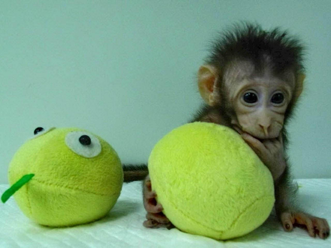 Huah Hua, a cloned long tailed macaque monkey